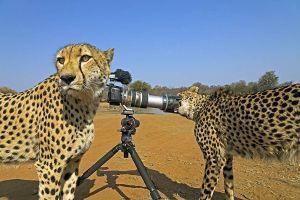 AAT-Benny-Rebel-Fotoreise-Suedafrika-Gepard