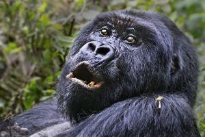 AAZ-Benny-Rebel-Fotoreise-Berg-GorillaRuanda