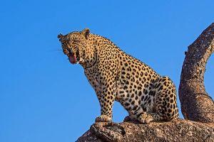 ABI-Benny-Rebel-Fotoreise-Afrika-Leopard