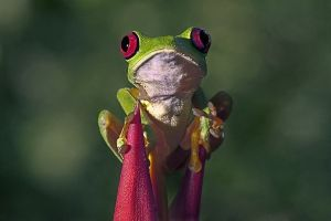 ABS-Benny-Rebel-Fotoreise-Frosch-Costa-Rica
