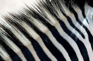 ACS-Benny-Rebel-Fotoworkshop-Zebra-Suedafrika