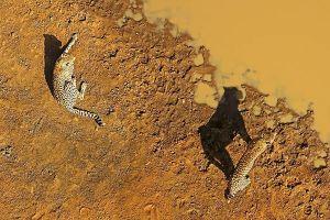 ADC-Benny-Rebel-Fotoreise-Suedafrika-Gepard