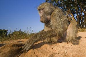 AFD-Benny-Rebel-Fotoreise-Suedafrika-Pavian