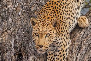 AGQ-Benny-Rebel-Fotoreise-Suedafrika-Leopard