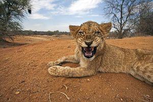 AHH-Benny-Rebel-Fotoreise-Suedafrika-Loewe