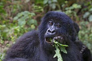 AIg-Benny-Rebel-Fotosafari-Berg-GorillaRuanda