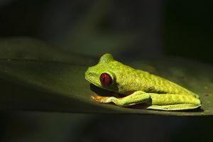 AIk-Benny-Rebel-Fotoreise-Frosch-Costa-Rica