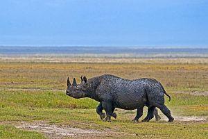 AIv-Benny-Rebel-Fotoreise-Tanzania-Nashorn-Spitzmaul