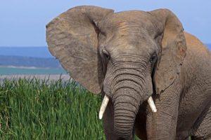AJg-Benny-Rebel-Fotoreise-Suedafrika-Elefant