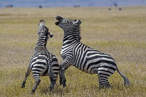 AKh-Benny-Rebel-Fotoreise-Tansania-Zebra