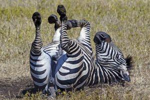 AKk-Benny-Rebel-Fotoreise-Tansania-Zebra