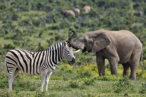 AKr-Benny-Rebel-Fotoreise-Suedafrika-Zebra