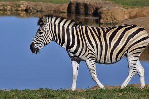 AKt-Benny-Rebel-Fotoreise-Suedafrika-Zebra