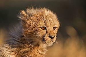 ALA-Benny-Rebel-Fotoreise-Suedafrika-Gepard