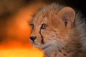 ALb-Benny-Rebel-Fotoreise-Suedafrika-Gepard