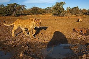 ALh-Benny-Rebel-Fotoreise-Suedafrika-Loewe