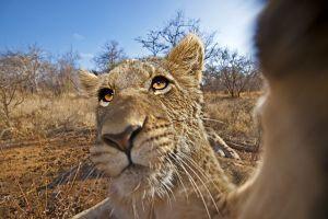 ALi-Benny-Rebel-Fotoreise-Suedafrika-Loewe