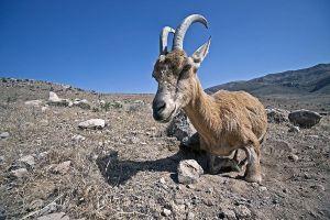 ALn-Benny-Rebel-Fotoreise-Iran-Persisches-Wildschaf