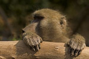 ALs-Benny-Rebel-Fotoreise-Suedafrika-Pavian