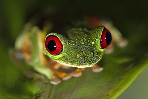 AMc-Benny-Rebel-Fotoreise-Frosch-Costa-Rica