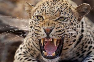 AMk-Benny-Rebel-Fotoreise-Suedafrika-Leopard-202