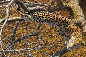 AMo-Benny-Rebel-Fotoreise-Afrika-Leopard