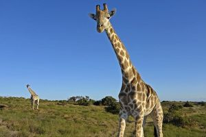 AMs-Benny-Rebel-Fotoreise-Suedafrika-Giraffe