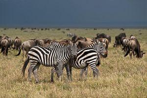 AOr-Benny-Rebel-Fotoreise-Tierherde-Serengeti-Tansania