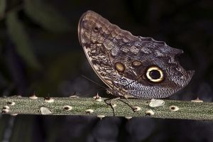 APj-Benny-Rebel-Fotoworkshop-Costa-Rica-Schmetterling
