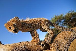 AQj-Benny-Rebel-Fotoreise-Suedafrika-Gepard