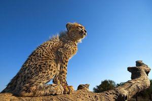 AQk-Benny-Rebel-Fotoreise-Suedafrika-Gepard