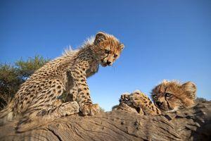 AQl-Benny-Rebel-Fotoreise-Suedafrika-Gepard