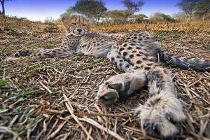 AQo-Benny-Rebel-Fotoreise-Suedafrika-Gepard