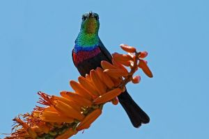 ARf-Benny-Rebel-Fotoreise-BindennektarvogelSuedafrika