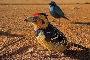 ARh-Benny-Rebel-Fotoworkshop-Suedafrika-Haubenbartvogel