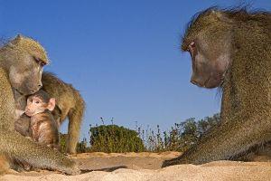 ASd-Benny-Rebel-Fotoreise-Suedafrika-Pavian