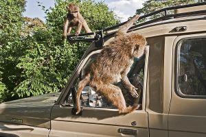 ASk-Benny-Rebel-Fotoreise-Tansania-Pavian