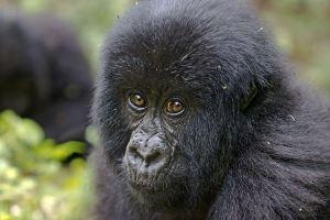 ASu-Benny-Rebel-Fotoreise-Berg-GorillaRuanda