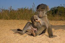 AWa-Benny-Rebel-Fotoreise-Suedafrika-Pavian