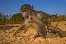AWc-Benny-Rebel-Fotoreise-Suedafrika-Pavian