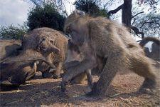 AWe-Benny-Rebel-Fotoreise-Suedafrika-Pavian