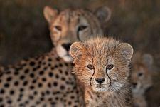AWn-Benny-Rebel-Fotoreise-Suedafrika-Gepard