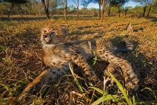AWo-Benny-Rebel-Fotoreise-Suedafrika-Gepard