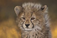 AWp-Benny-Rebel-Fotoreise-Suedafrika-Gepard