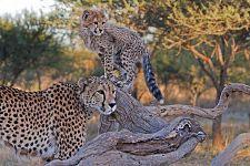 AWw-Benny-Rebel-Fotoreise-Suedafrika-Gepard