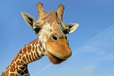 AA-Benny-Rebel-Fotoreise-Suedafrika-Giraffe