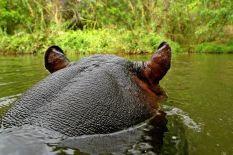 AAB-Benny-Rebel-Fotoreise-Suedafrika--Flusspferd