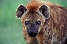 AB-Benny-Rebel-Fotoreise-Namibia-Hyaene