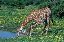 AC-Benny-Rebel-Fotoreise-Namibia-Giraffe