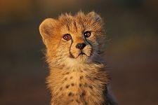AC-Benny-Rebel-Fotoreise-Suedafrika-Gepard